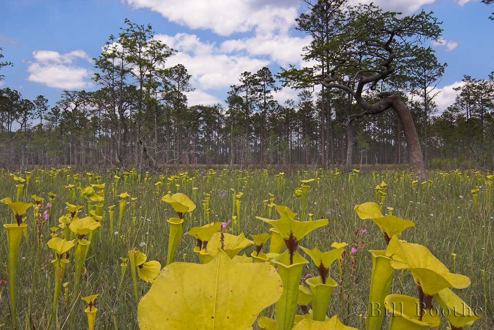 Pitcherplant Savanna