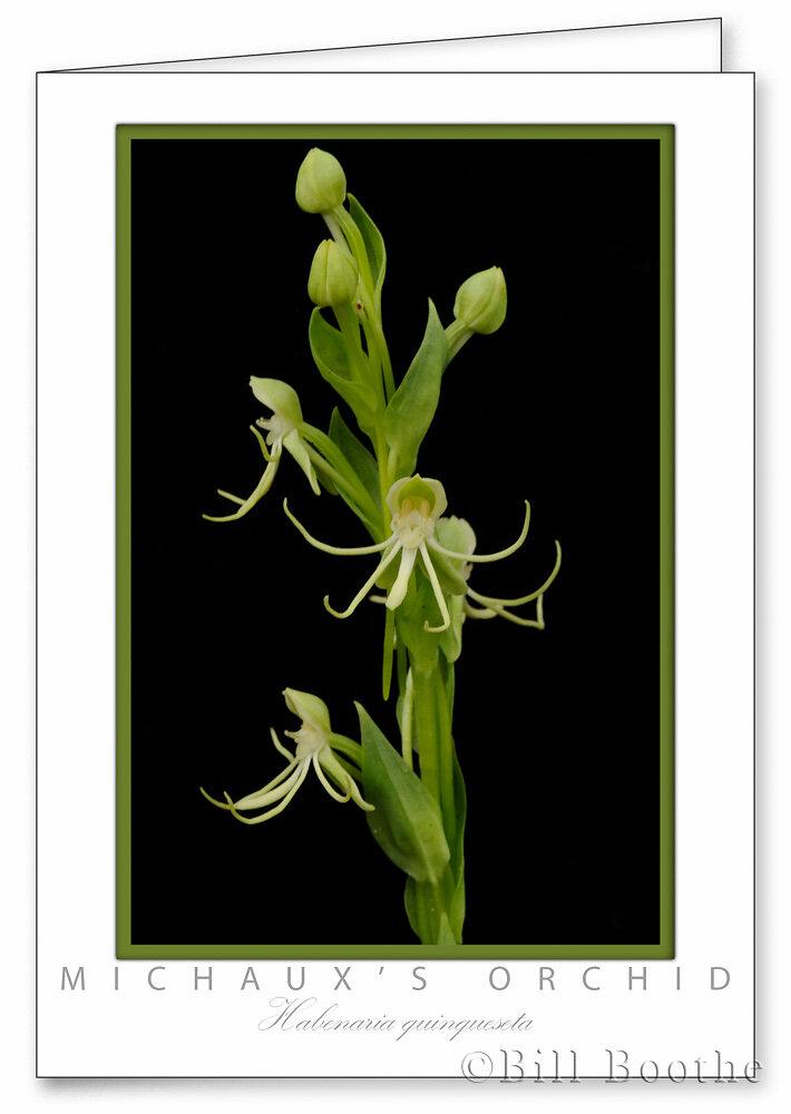 Michaux's Orchid