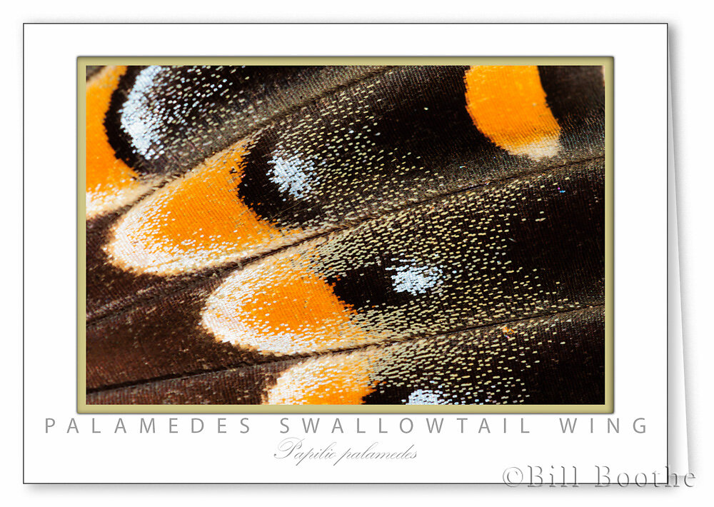 Palamedes Swallowtail Wing