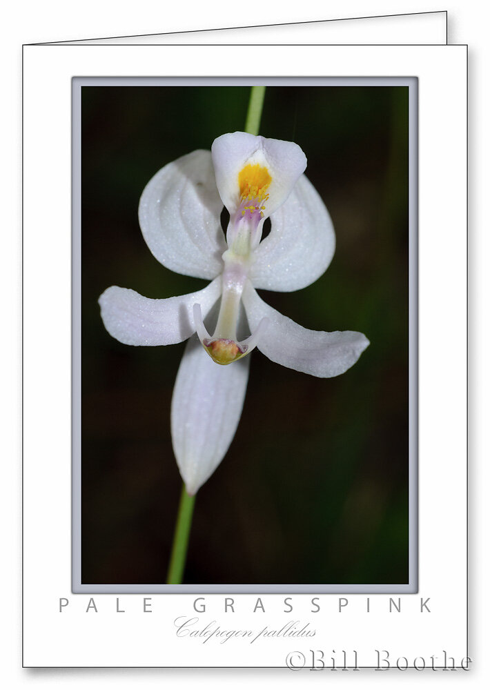 Pale Grasspink Orchid