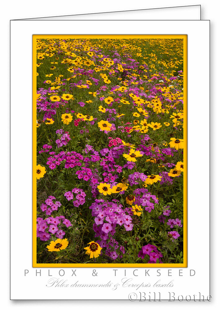 Goldenmane tickseed and Phlox