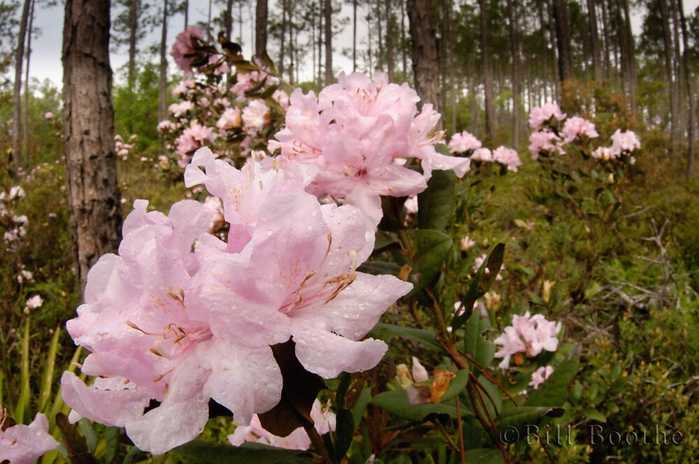 Chapman's Rhododendron