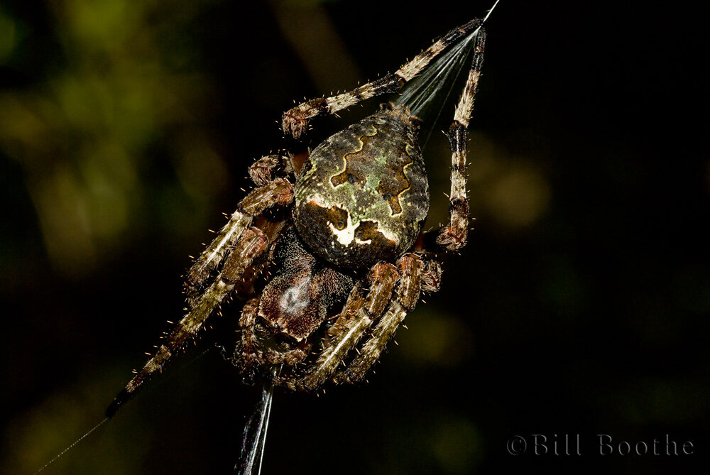 Hump-backed Orb Weaver