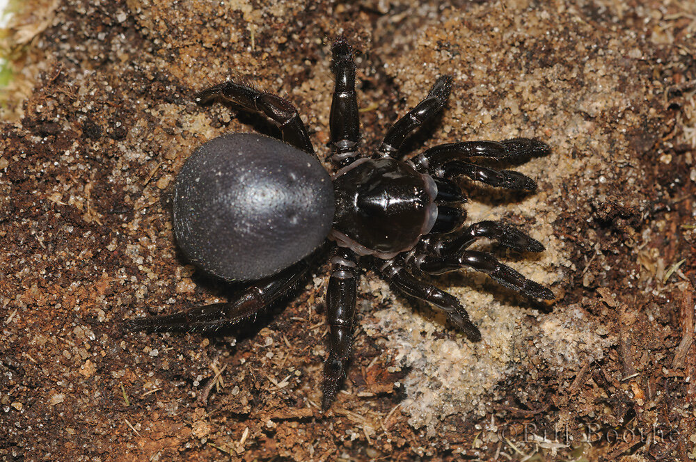 Audouin's Trap-door Spider