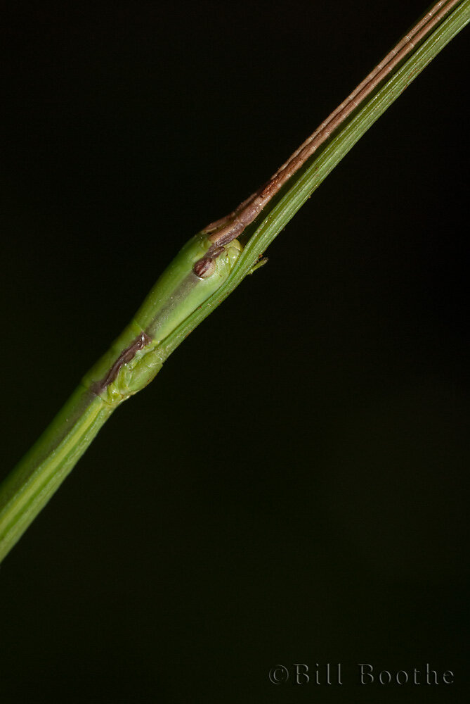 Common Walkingstick