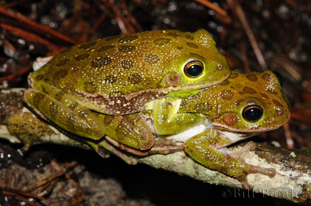 Mating Barking Treefrogs