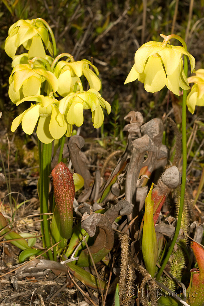 Hooded Pitcherplant
