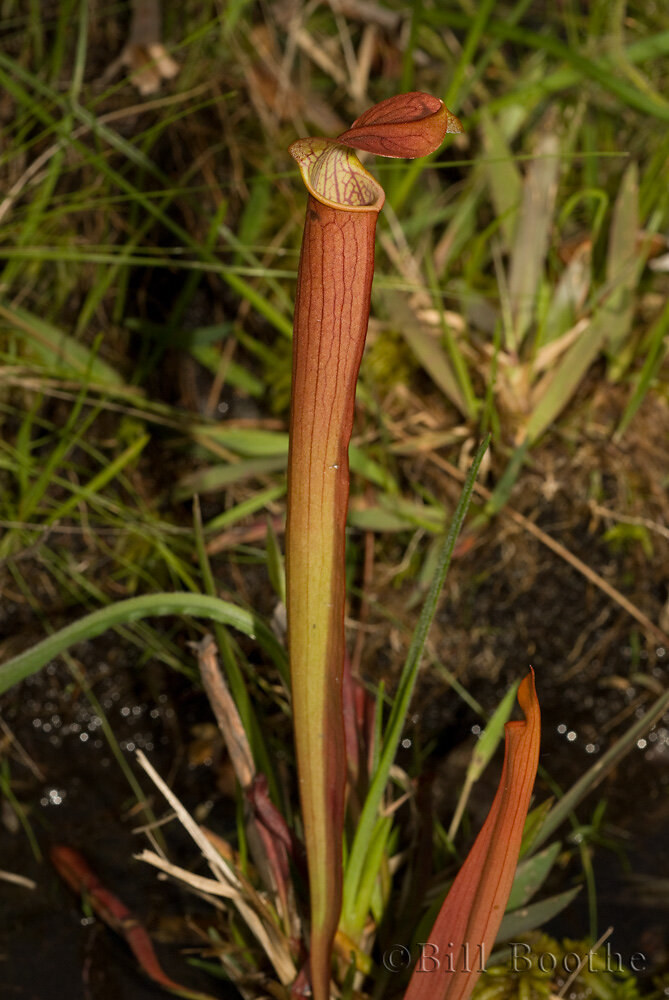 Gulf Coast Redflower Pitcherplant