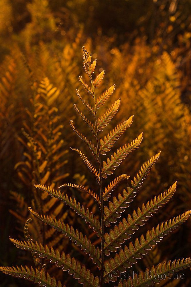 Ferns in the Sunset