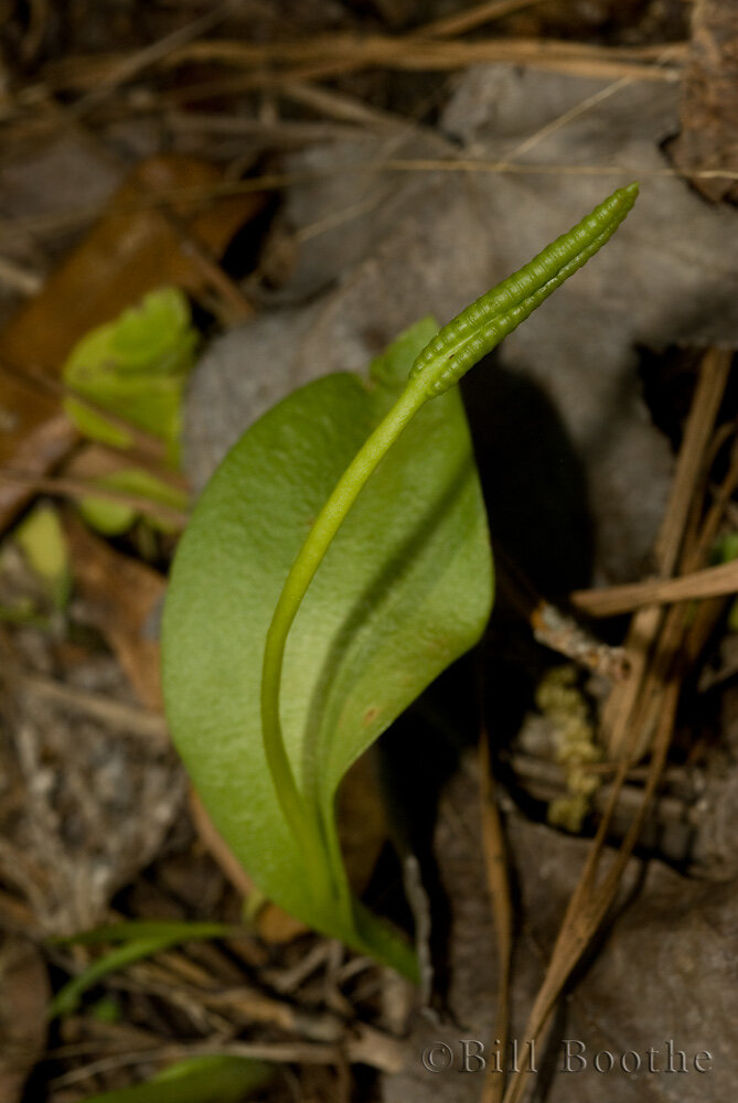 Adder's Tongue Fern