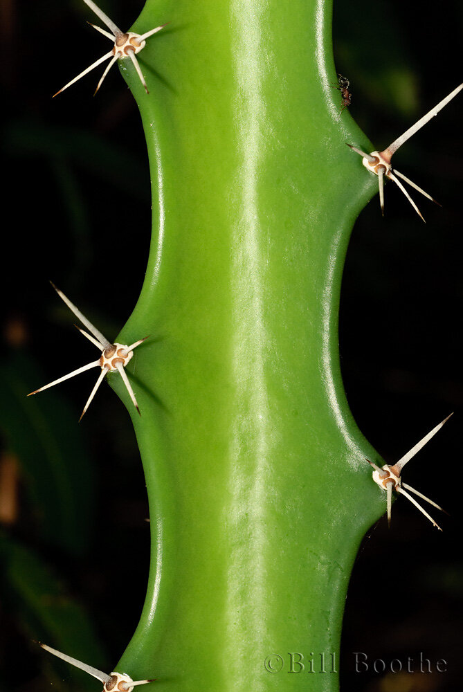 Barbed Wire Cactus