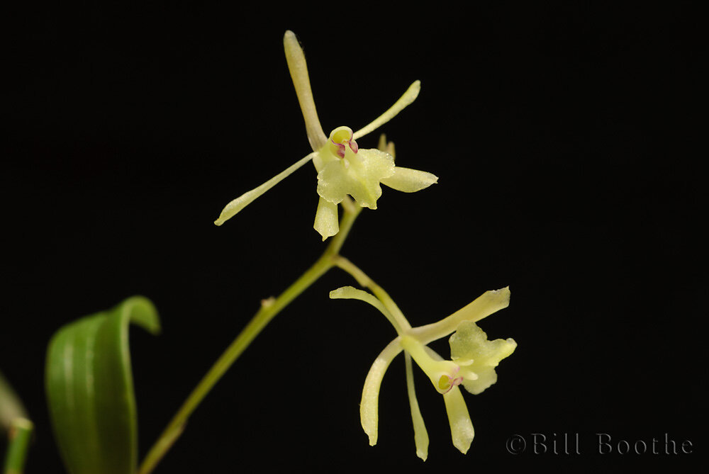 Green-fly Orchid