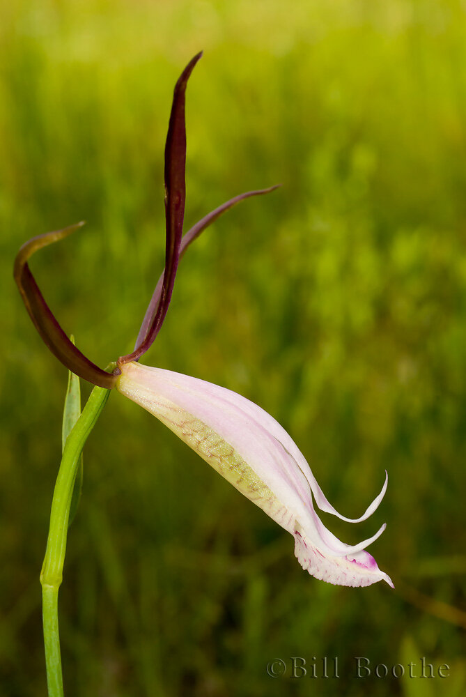 Spreading Pogonia Orchid