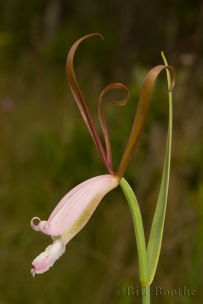 Fernald's Pogonia Orchid