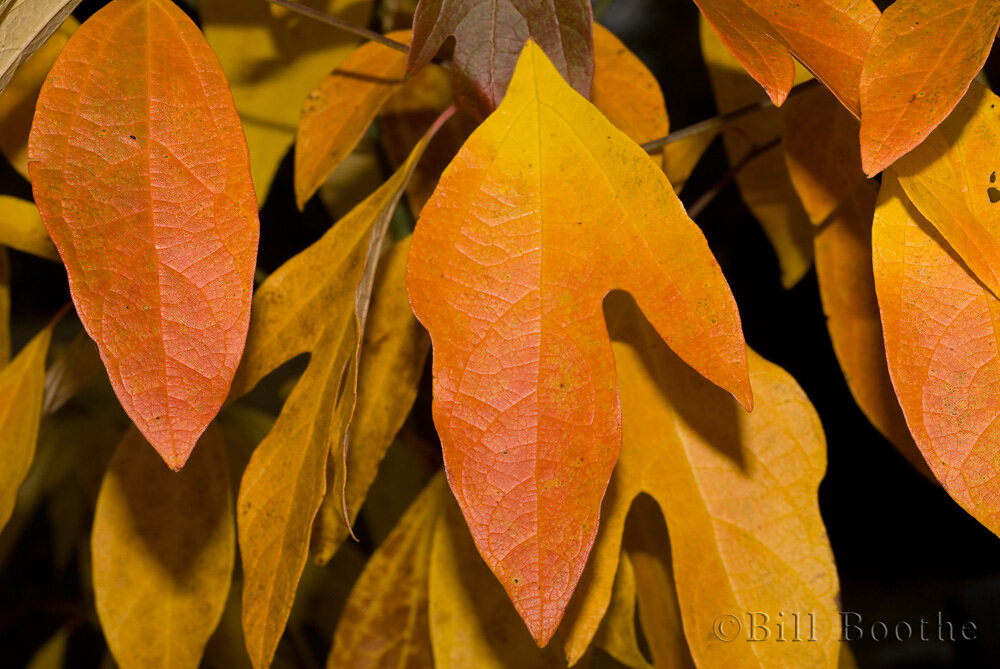 Sassafras Autumn Leaves