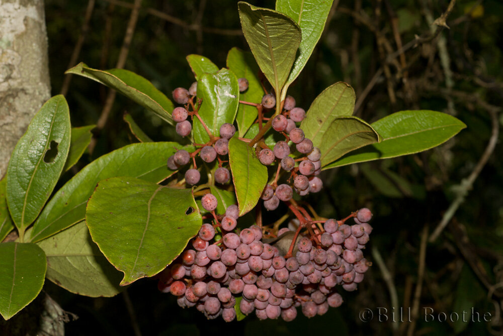 Possumhaw Berries