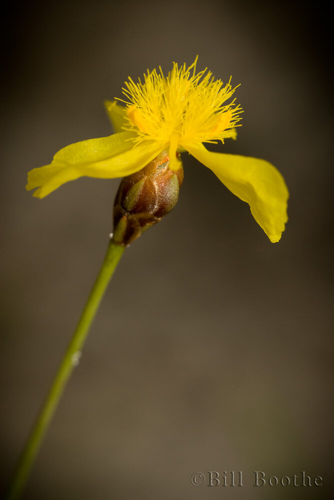 Quillwort Yelloweyed Grass