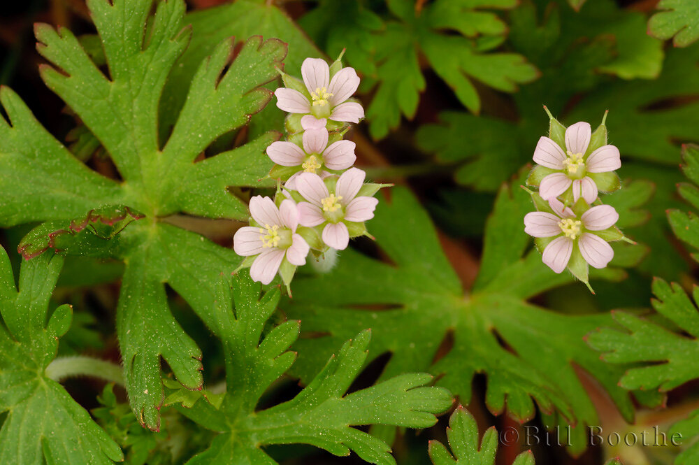 Carolina Cranesbill