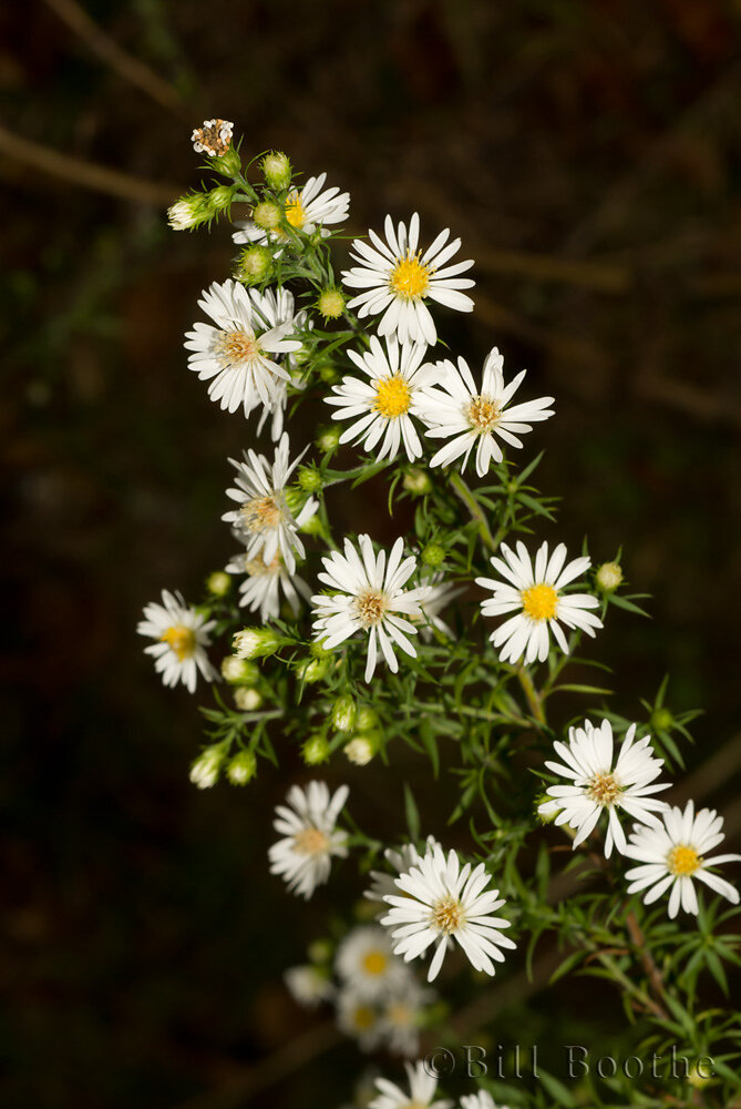 White Oldfield Aster