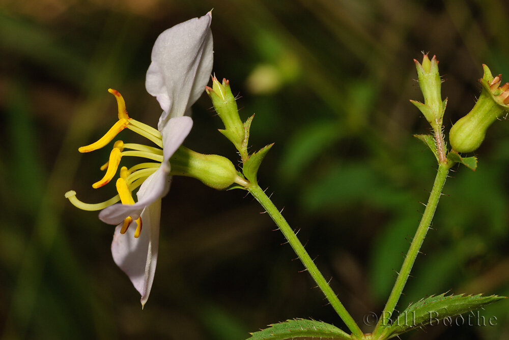 Apalachicola Meadowbeauty