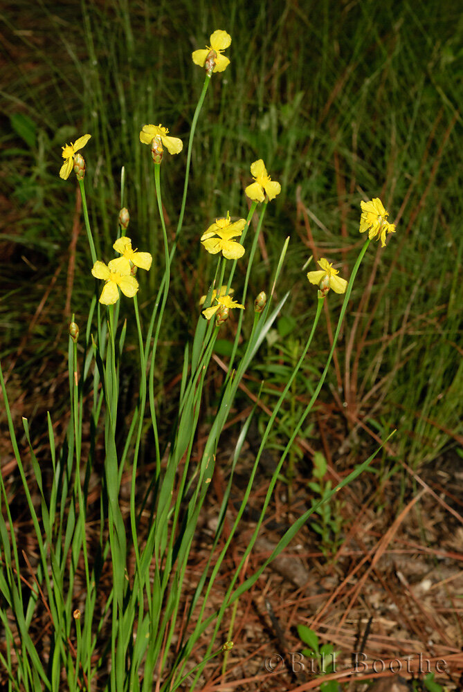 Carolina Yelloweyed Grass