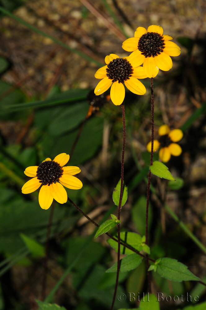Browneyed Susans