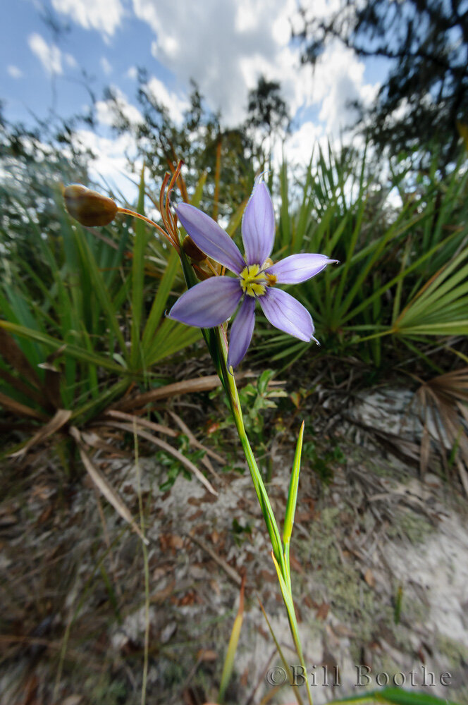 Jeweled Blue-eyed Grass