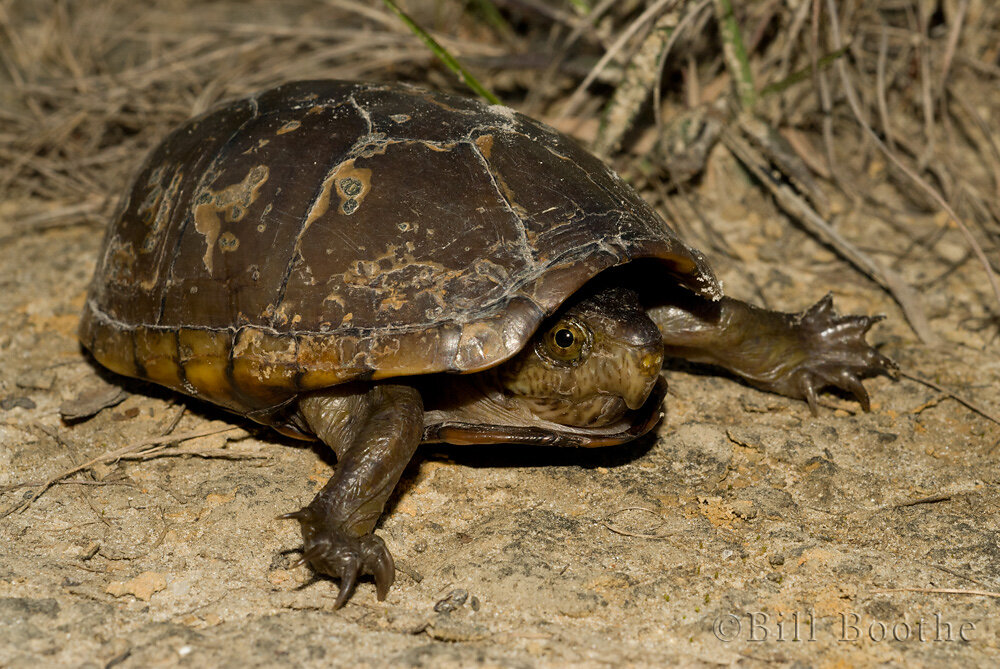 Florida Mud Turtle