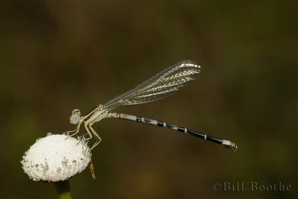 Seepage Dancer Damselfly
