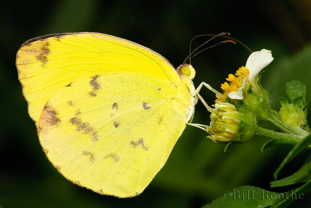 Female Dina Yellow