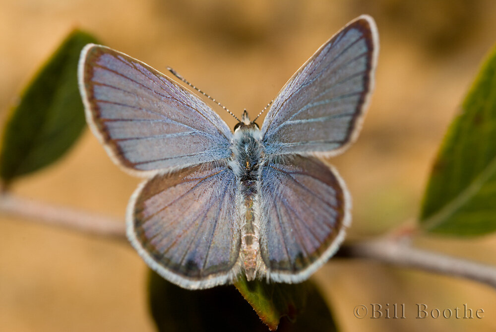 Male Ceraunus Blue