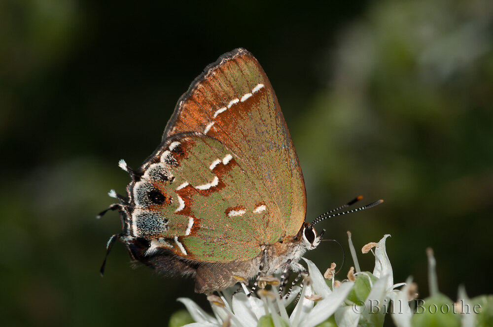 'Sweadner's' Juniper Hairstreak