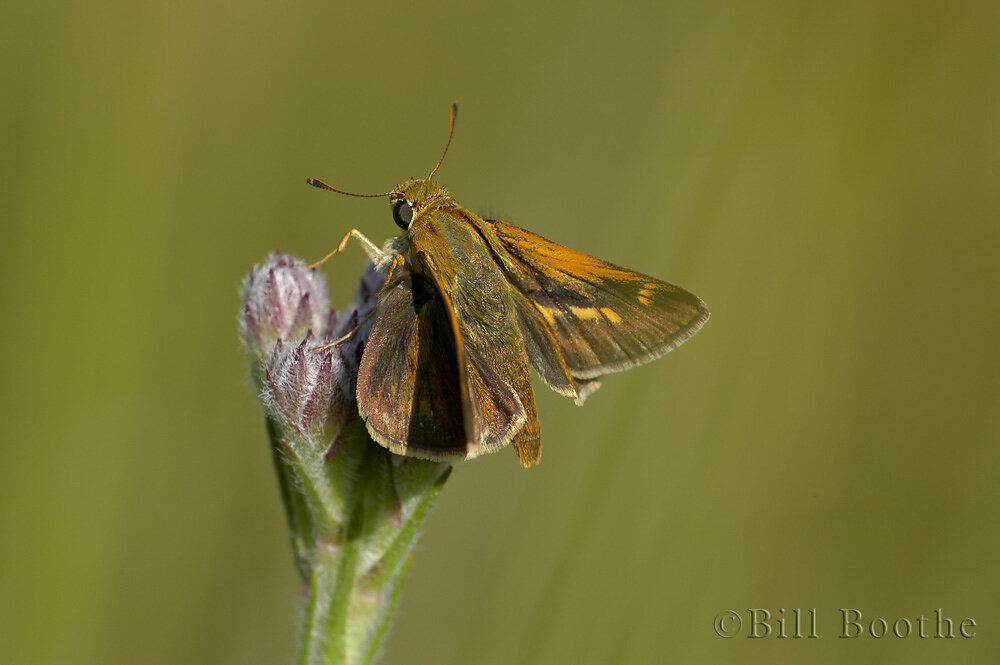 Male Crossline Skipper