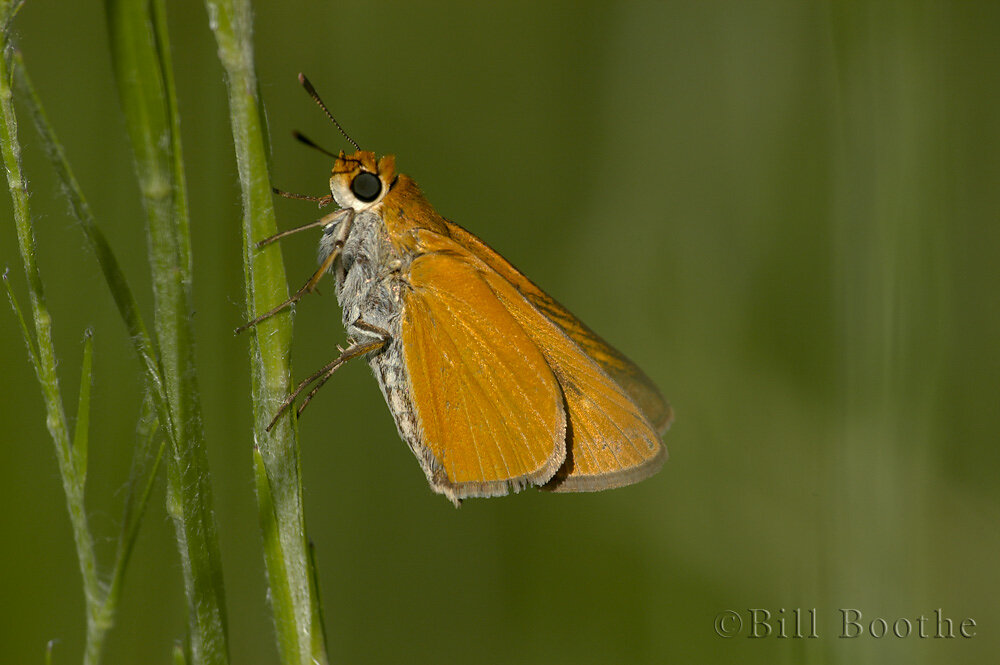 Palmetto Skipper