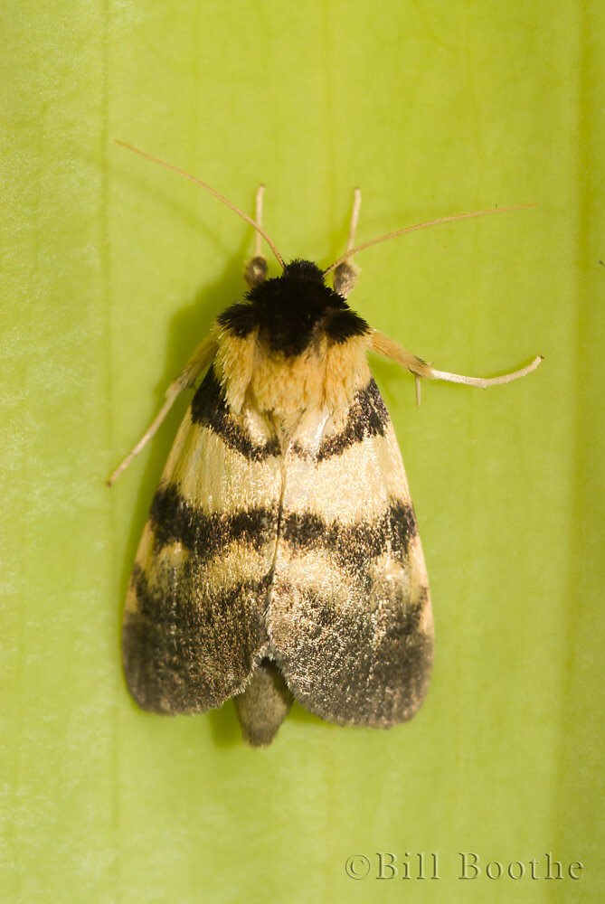 Pitcherplant Moth