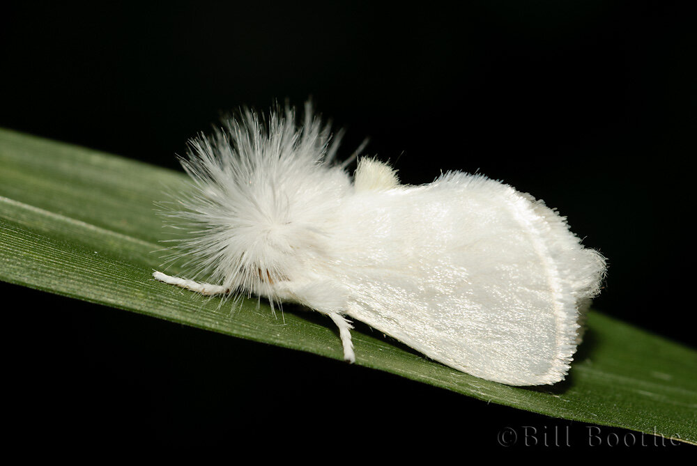 White Flannel Moth