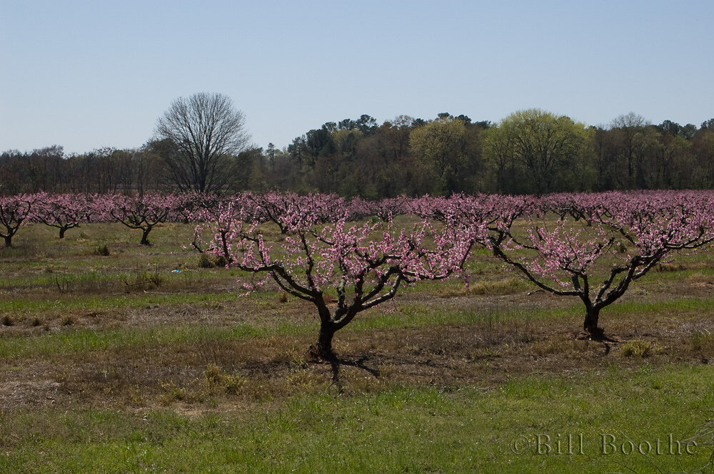 Peach tree orchard in bloom