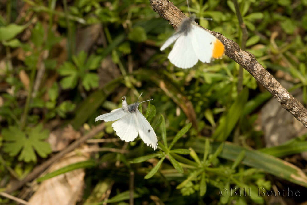 Courting Falcatte Orangetips