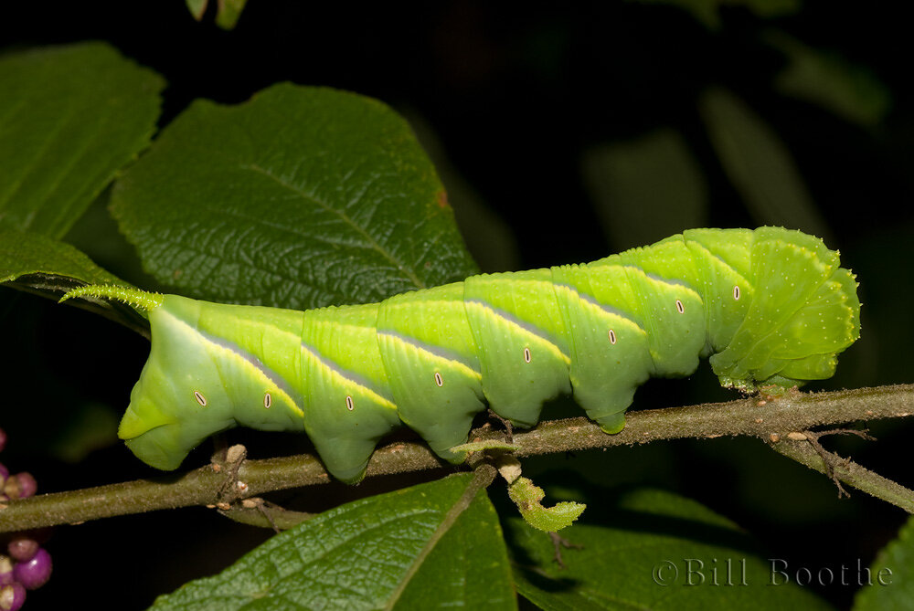 Rustic Sphinx Caterpillar