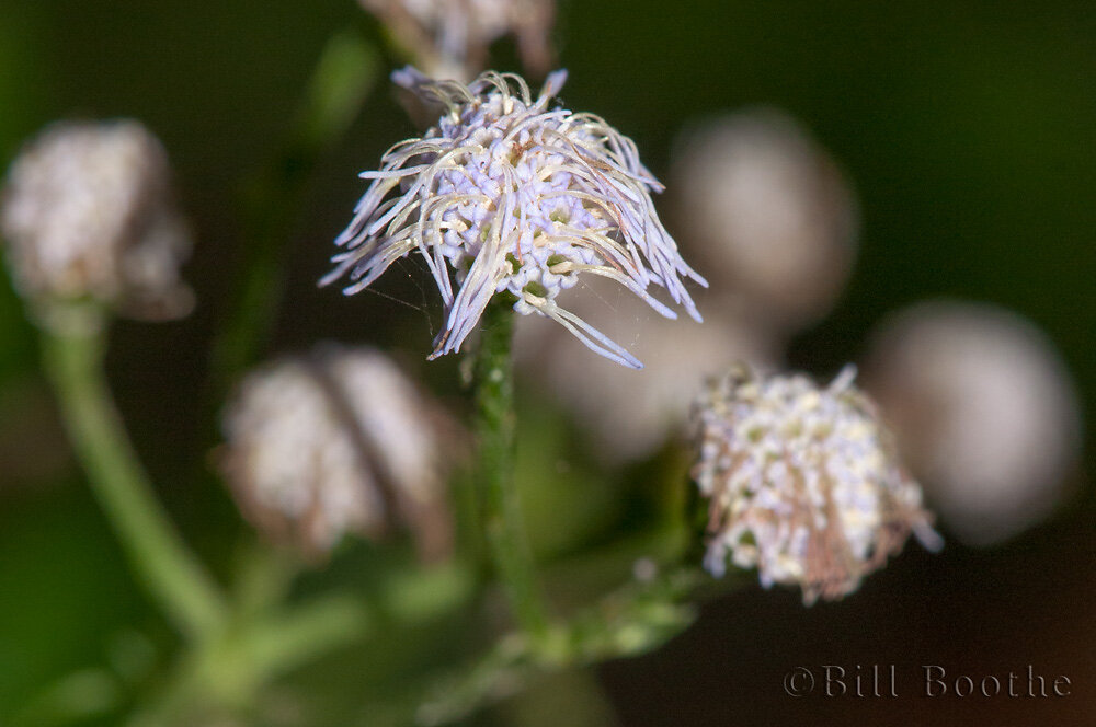 Pink Thoroughwort