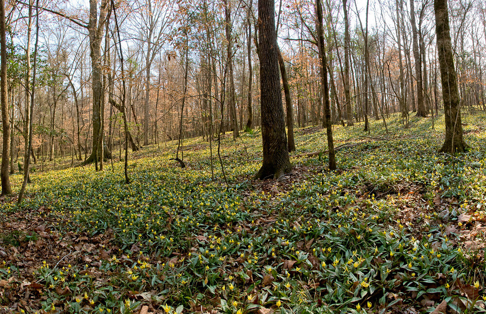 Panorama of Trout Lilies