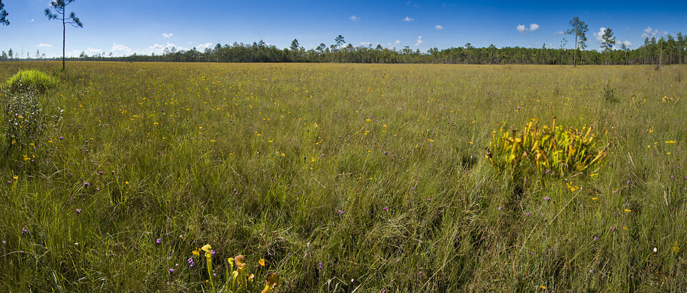 Panorama of Pitcherplant Savanna
