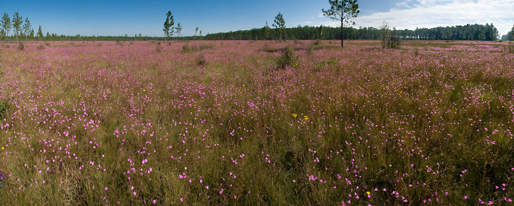 Panorama of False Foxglove
