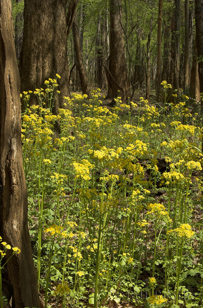 Butterweed in Floodplain Forest