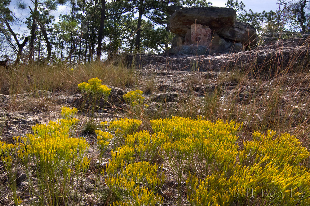 Nuttall's Rayless Goldenrod at Rock Hill Preserve