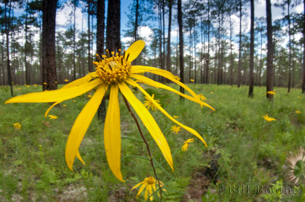 Pineland False Sunflower