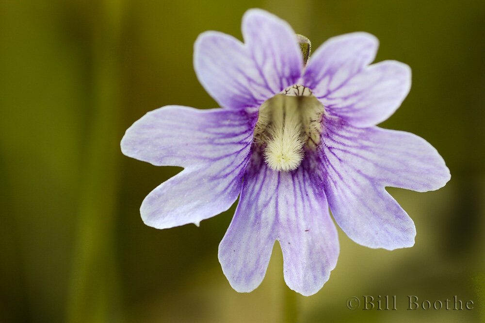 Blueflower Butterwort