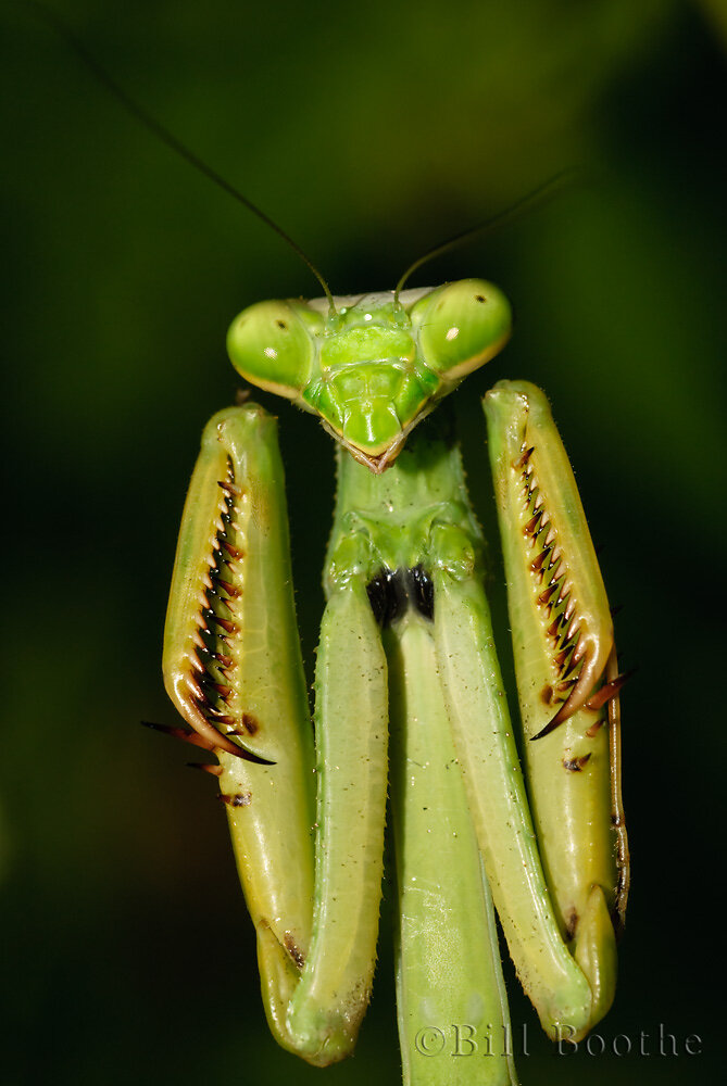 Carolina Mantis