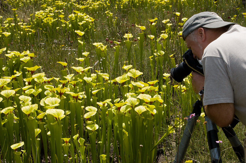 Bill Boothe photographering pitcherplants