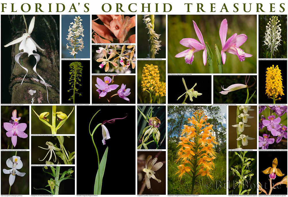 Florida's Orchid Treasures